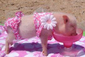 La sorpresa porcina secretos del cerdo