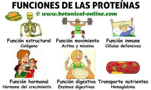 proteína y sus funciones